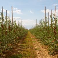 Яблуневий сад Закарпаття