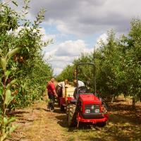 Збір яблук на Закарпатті