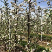 Яблуневий сад Ужгород